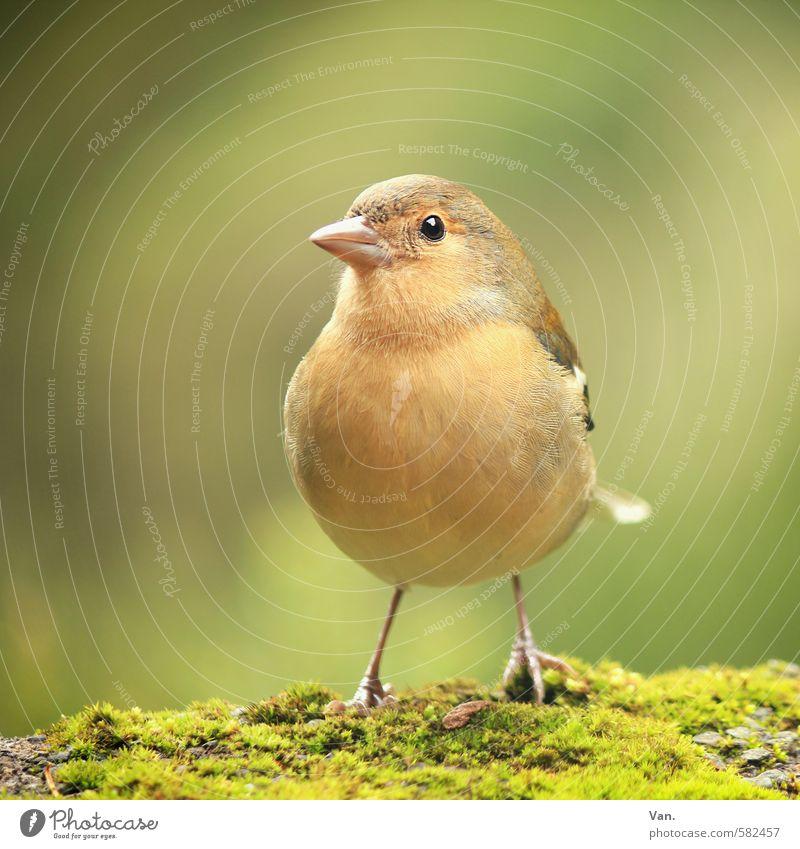 Weiblein Natur grün Pflanze Tier gelb Herbst klein Vogel Wildtier Neugier Moos Buchfink