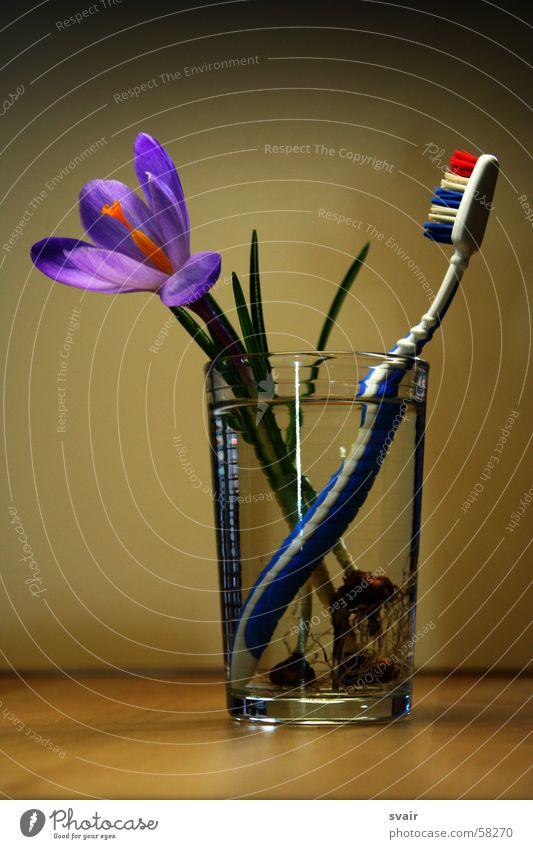 frühjahrsputz Blume Frühling Glas violett Sauberkeit Körperpflege Krokusse Zahnbürste Zahnpflege