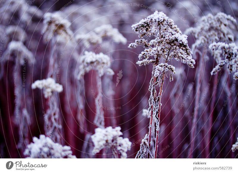 purple winter Umwelt Natur Pflanze Winter Eis Frost Wildpflanze Park Wiese Feld ästhetisch kalt rot weiß Kraft ruhig gefroren Farbfoto Außenaufnahme