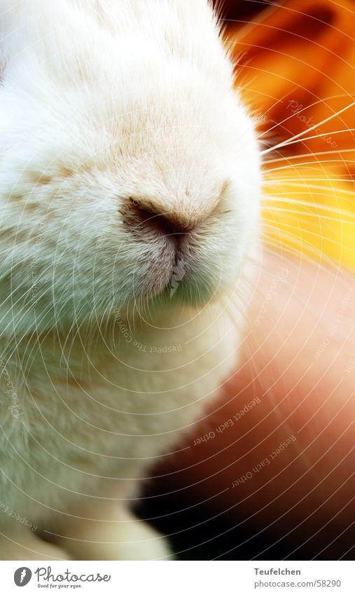 osterhäschen Hase & Kaninchen Teddybär Zwerg Haustier Löffel Schnauze Schnurrhaar weiß mucki bunny kira mehrfarbig Ei Suche Osterhase