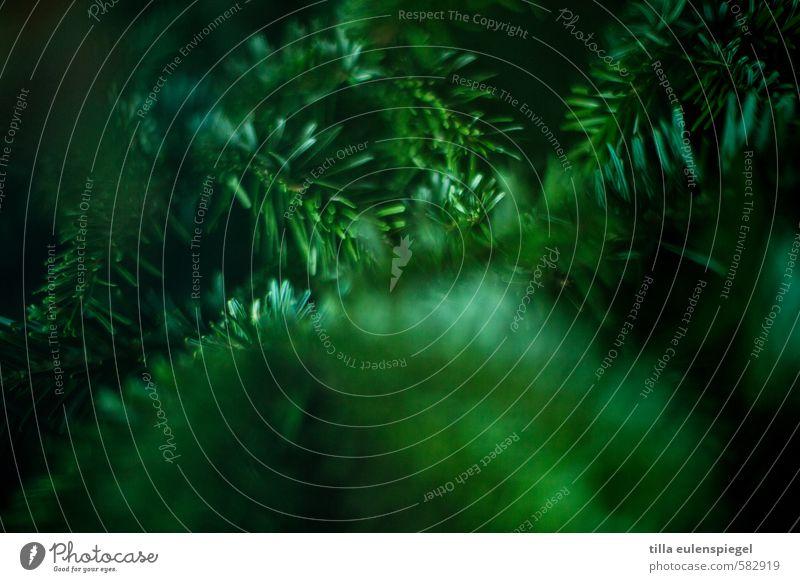 grünt so schön Natur Baum stachelig Farbe Nadelbaum Tanne Tannennadel Zweig dunkelgrün Unschärfe Farbfoto Schwache Tiefenschärfe