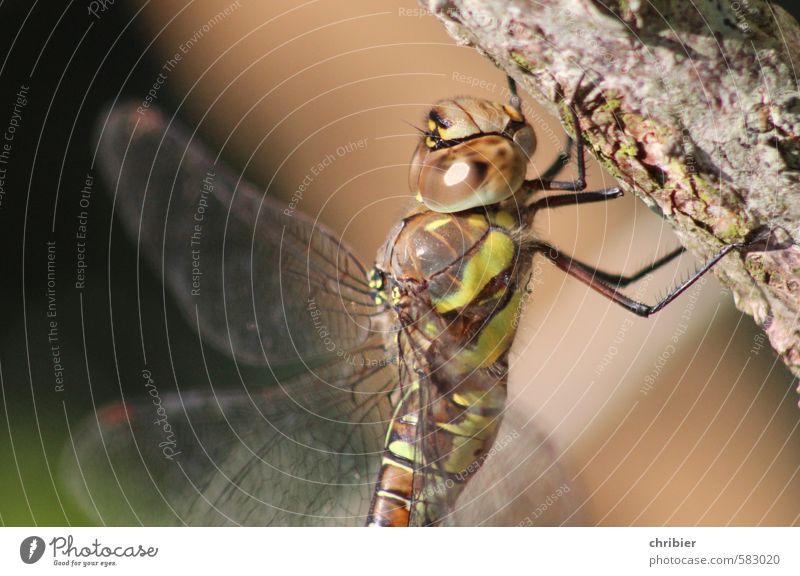 Libella Tier Libelle Facettenauge Libellenflügel 1 hängen sitzen braun grün filigran zart durchsichtig Farbfoto Außenaufnahme Nahaufnahme Textfreiraum links
