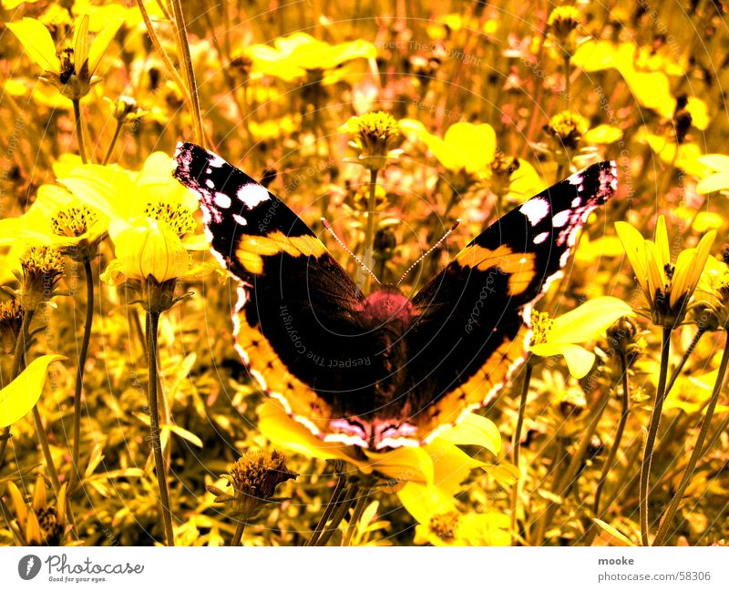 Butterfly Natur Sommer gelb Wiese Frühling Schmetterling