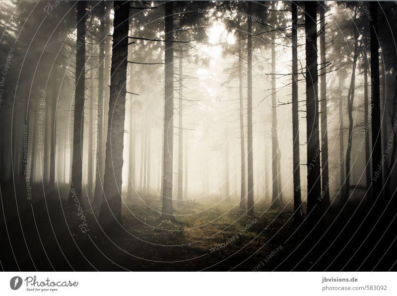 Nebelwald Umwelt Natur schlechtes Wetter Tanne Nadelwald Nadelbaum Wald dunkel hell träumen Einsamkeit mystisch fantastisch Gedeckte Farben Außenaufnahme Tag