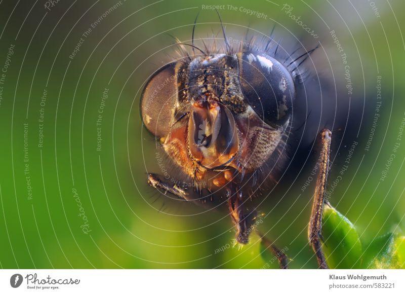 Sumsi Umwelt Natur Tier Herbst Fliege Tiergesicht 1 exotisch gruselig grau grün orange schwarz Tod Borsten Auge Komplexaugen Facettenauge Mikrochip Farbfoto