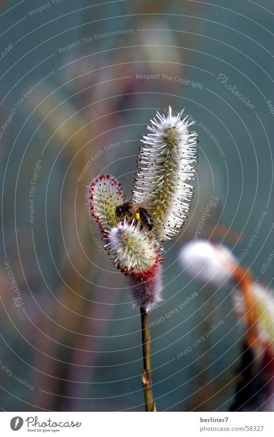 Weidenkätzchen mit Besuch Blüte Frühling Insekt Biene Blütenknospen Flimmerhärchen