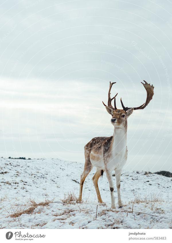 Gefleckter Hirsch auf Weiß Umwelt Natur Landschaft Urelemente Winter Schnee Tier Wildtier Fell Hirsche Rothirsch 1 ästhetisch sportlich elegant Erfolg groß kalt