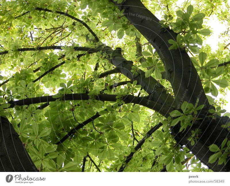 Blick nach oben grün Baum Sommer Café Kastanienbaum Schatten luise