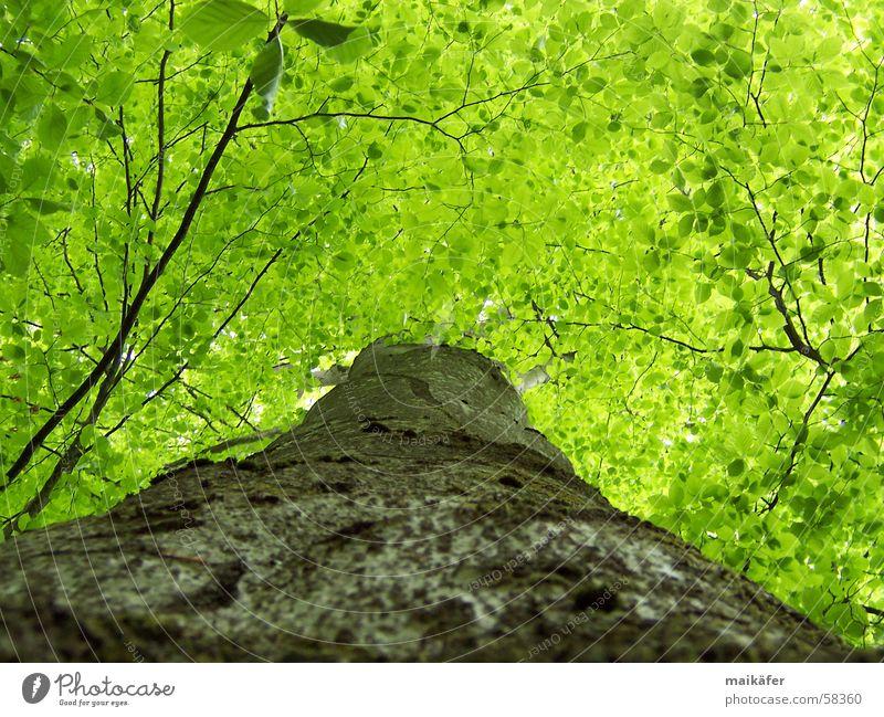 Hoch hinauf grün Baum Baumstamm Blatt Buche Frühling Sommer Licht Schatten