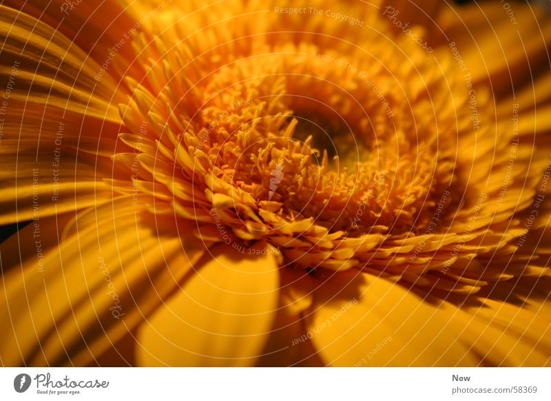 Energie Natur Sonne Blume Pflanze Sommer gelb Frühling Gerbera