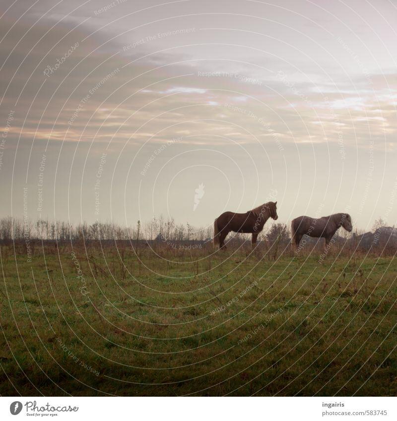 Warten auf den ersten Schnee Natur Landschaft Himmel Wolken Horizont Herbst Winter Pflanze Gras Wiese Feld Weide Tier Nutztier Pferd Island Ponys 2 beobachten