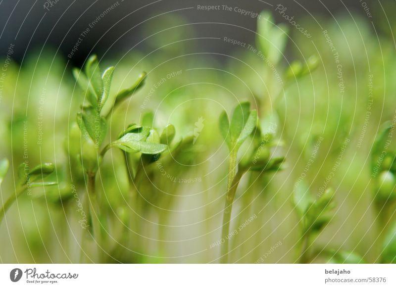 Kresse Pflanze Jungpflanze Botanik Ernährung Kräuter & Gewürze grün Gesundheit klein winzig Blatt Aussaat Frühling keimen Stengel Nahaufnahme Natur Lebensmittel