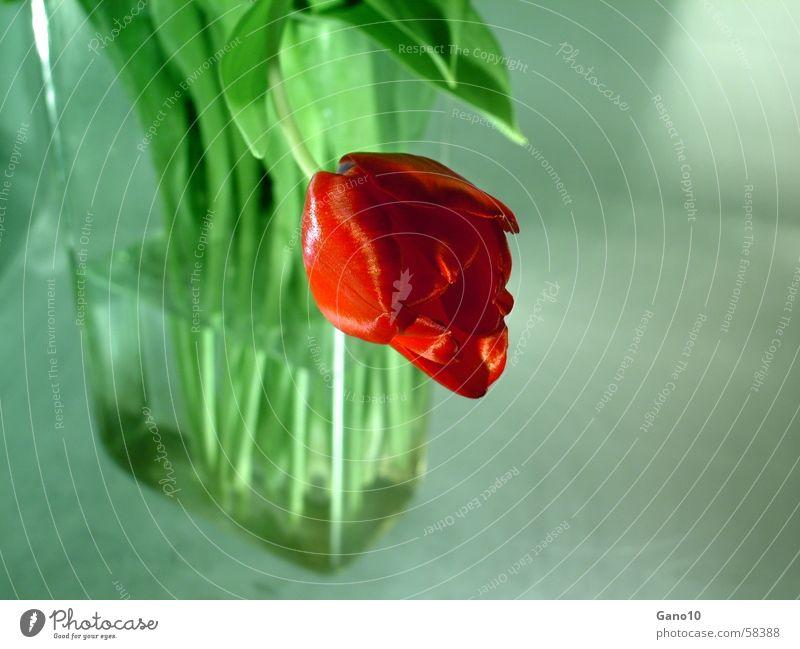 Gebeugt grün rot Frühling Tulpe Vase
