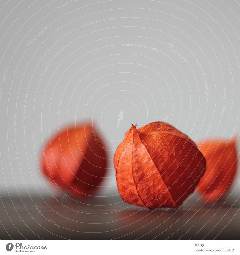 Physalis alkekengi Pflanze Herbst Blume Lampionblume Frucht liegen ästhetisch authentisch schön natürlich trocken braun grau orange einzigartig Hülle Farbfoto