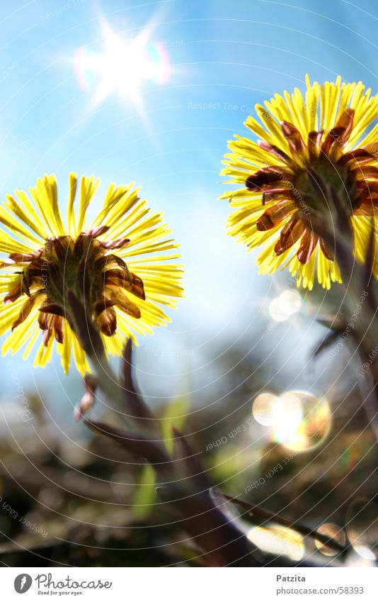 Sonnenanbeter Blume gelb Gras Wiesenblume Waldblume Huflattich grün Frühling Himmel glänzend blau