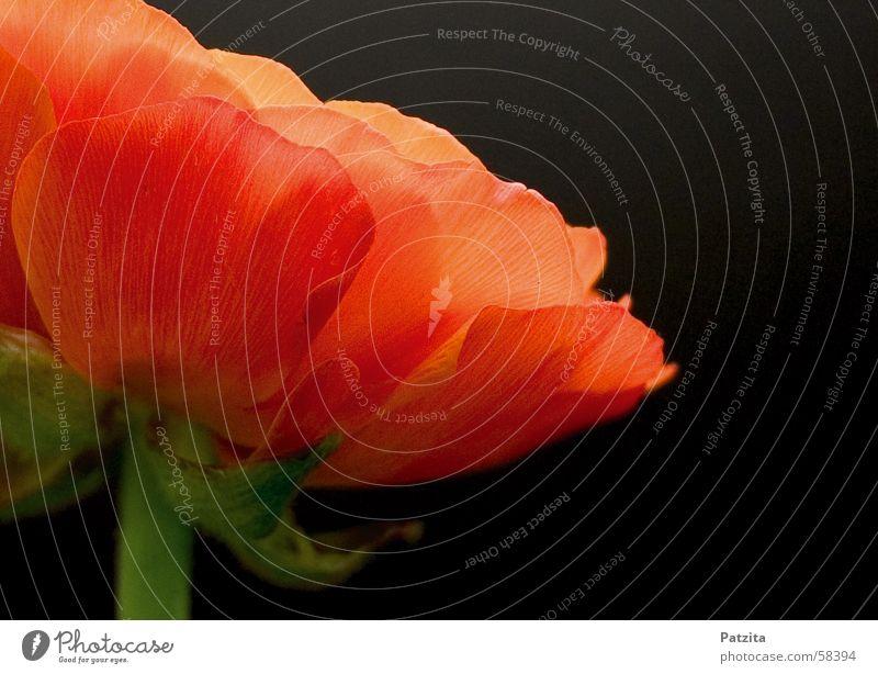 Night Beauty Blume grün rot schwarz orange