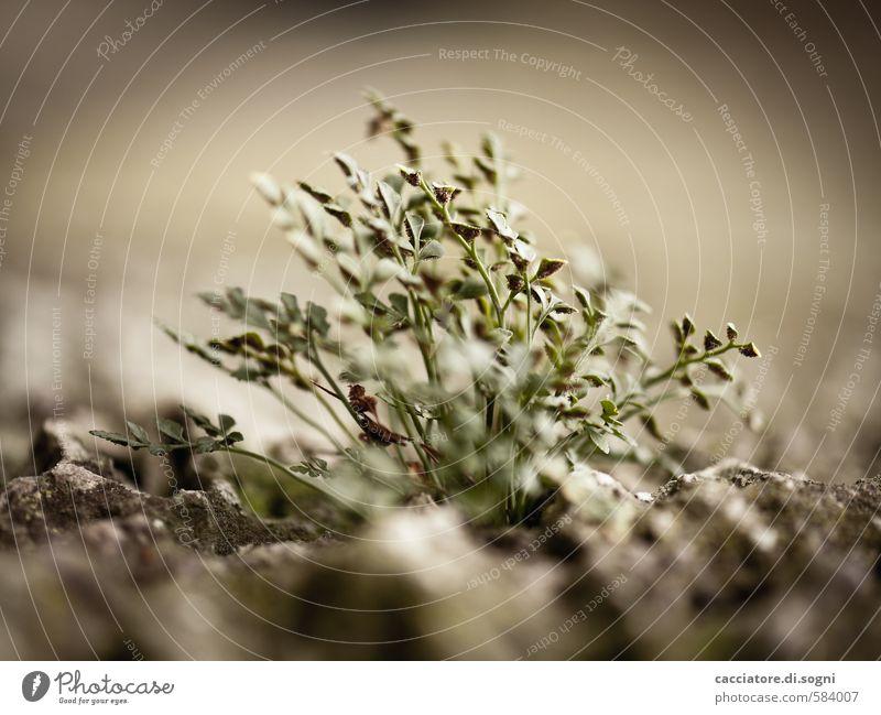 Es wird schon irgendwie gehen Umwelt Pflanze Herbst Schönes Wetter Grünpflanze dunkel klein natürlich trist Stadt braun grau grün Willensstärke bescheiden