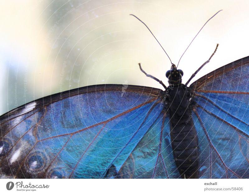 Schillernd Farbfoto Makroaufnahme Schwache Tiefenschärfe Auge Natur Tier Schmetterling Flügel 1 krabbeln ästhetisch blau Farbe Insekt schillernd Fühler