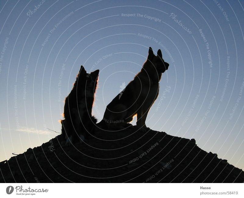 King of the Hill Himmel blau schwarz dunkel oben Berge u. Gebirge Hund hoch bedrohlich beobachten Hügel Kontrolle Vorgesetzter überblicken Deutscher Schäferhund