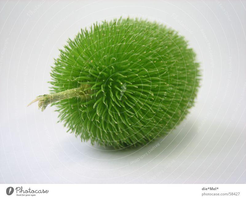 Cocuma 2 grün Oval Stengel Tischdekoration Pflanze Dinge Stachel Gurke