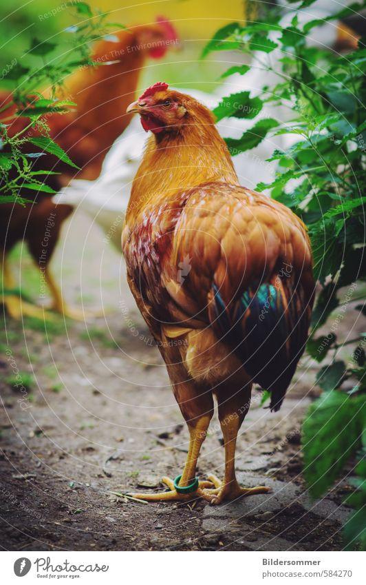 Hühnchen Natur Ferien & Urlaub & Reisen grün rot Tier Wiese Glück Gesundheit Garten braun Lebensmittel Idylle laufen stehen Ernährung Feder