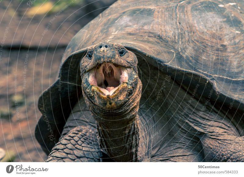 hungrige Riesenschildkröte mit offenen Mund Galapagosinseln Tier Wildtier Schildkröte 1 lachen schreien Aggression alt Kraft Wut Ecuador Farbfoto Außenaufnahme
