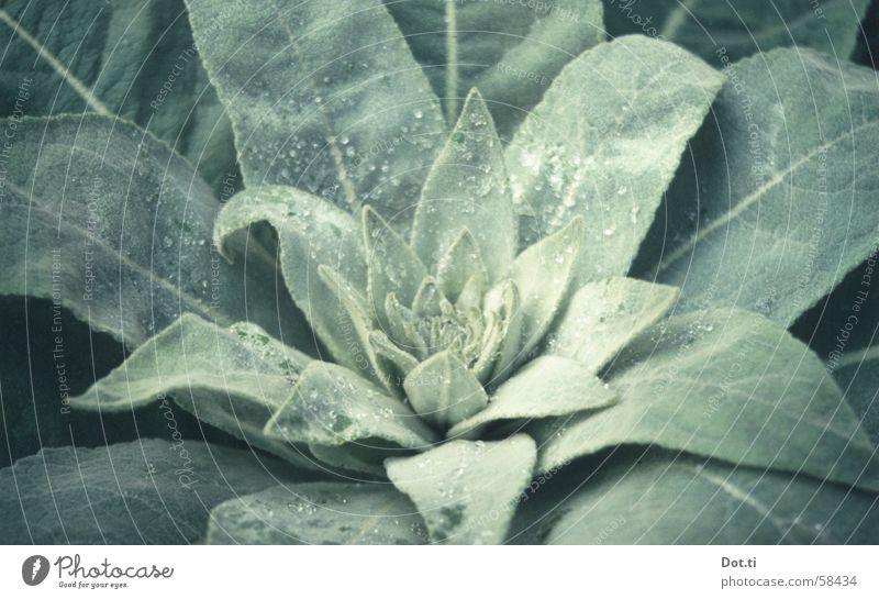 Morgentau Natur grün Pflanze Blatt Garten Park Wassertropfen Seil Wachstum Tau Botanik Blütenknospen Grünpflanze samtig Reifezeit