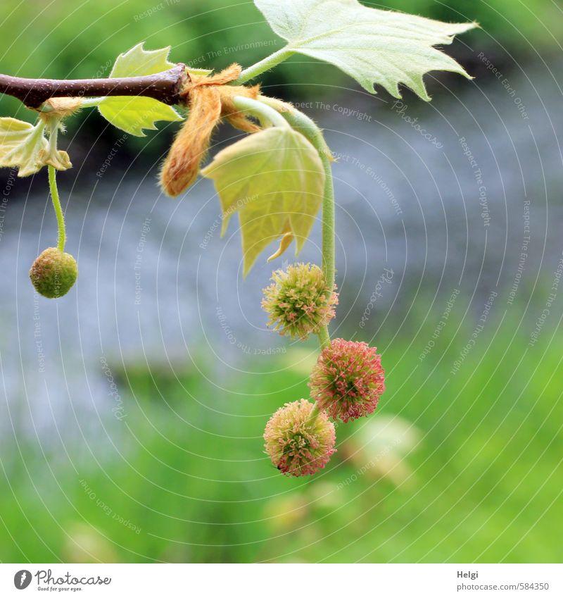 Helgiland | Frühlingskugeln... Natur blau schön grün Wasser Pflanze Baum Landschaft Blatt Umwelt Leben Blüte natürlich braun Park