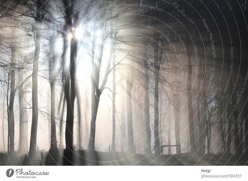 Sonnenstrahlen durchbrechen den Morgennebel am Waldrand Umwelt Natur Landschaft Pflanze Winter Schönes Wetter Eis Frost Baum frieren leuchten stehen Wachstum
