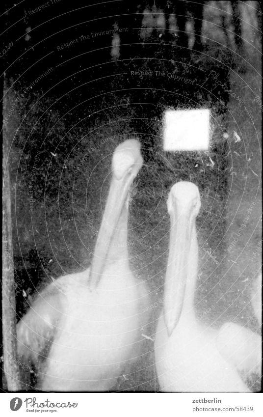 Pelikane Vogel Zoo Justizvollzugsanstalt Gehege Tierhaltung Vogelgrippe