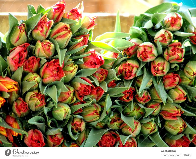 Tulpen ohne Ende schön Blume grün rot Blatt gelb Blüte Frühling mehrere viele Blütenknospen Haufen