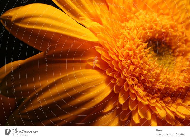 dienaturgrößtekunst Blume gelb Gerbera Pflanze flower Sonne frühlin Natur