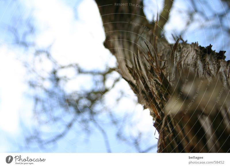 ragender Baum Himmel blau Wolken groß hoch Niveau Ast Baumrinde