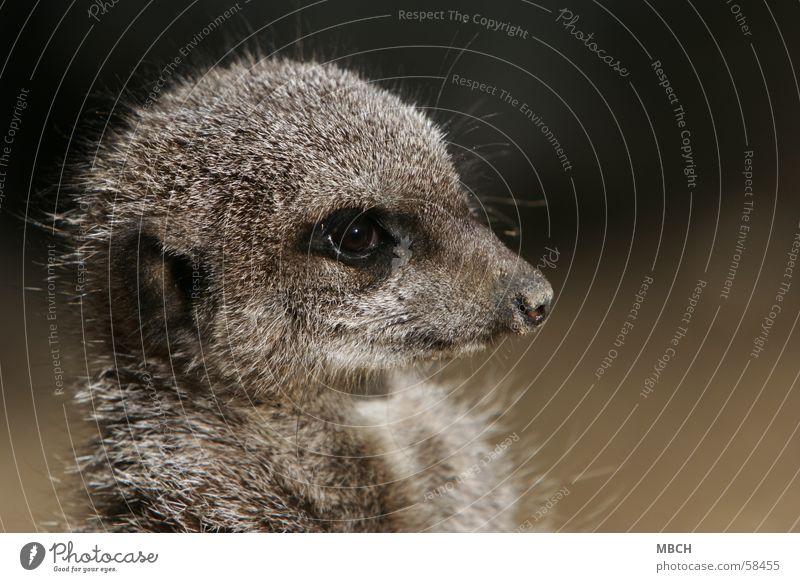 Wächter Tier Fell grau klein nah bewachen Schnauze erdmänchen Auge Makroaufnahme Blick timon Nase Ohr