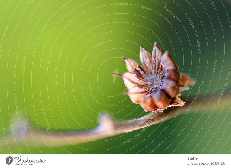 stern am stiel Natur alt schön grün Pflanze Umwelt Erotik Senior Herbst Holz klein natürlich außergewöhnlich elegant Wachstum ästhetisch
