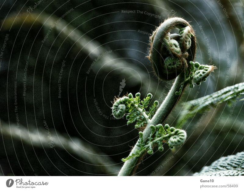 Farnkurve1 grün Pflanze Holzmehl Ferne Waldpflanze Spirale Blatt Echte Farne leaf