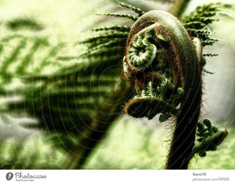Farnkurve2 grün Pflanze Holzmehl Ferne Waldpflanze Spirale Blatt Echte Farne leaf