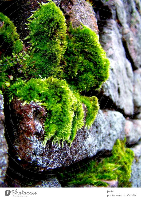 Mauermoos grün Pflanze Stein Moos Steinmauer