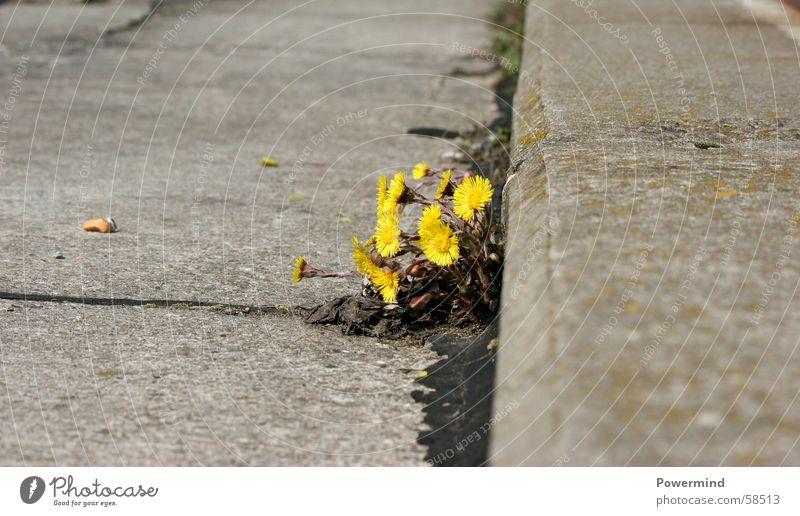 Kahlschlag Pflanze Blume Einsamkeit Straße Leben Wachstum Asphalt Blühend Ernte Rauschmittel Am Rand Korbblütengewächs Heilpflanzen Unkraut Zement Huflattich