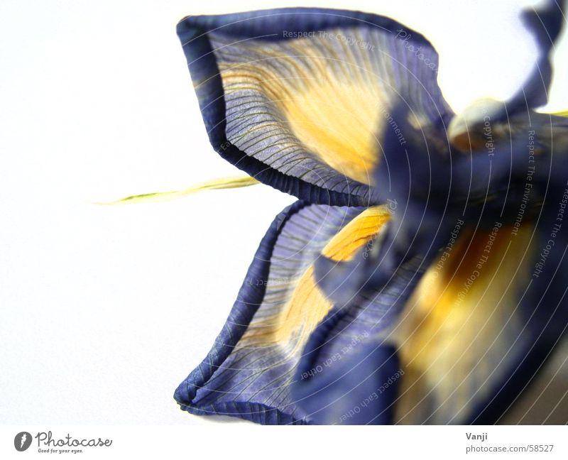 Schwertlilie II Blatt Pflanze gelb Blume zart zerbrechlich Blüte Blütenblatt Lilien leicht welk Verfall Faser Natur blau sanft Farbe alt