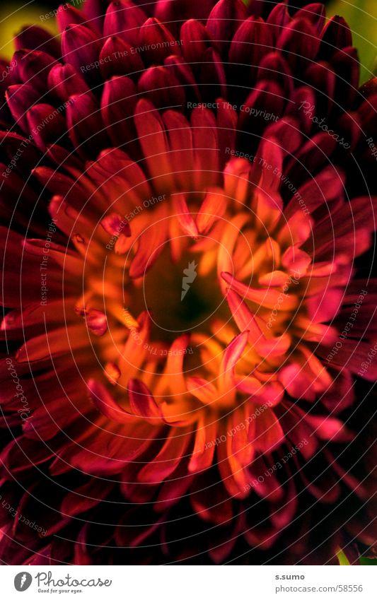 frisst dich! Natur Blume rot Farbe Blüte tief Sinnesorgane Fleischfresser