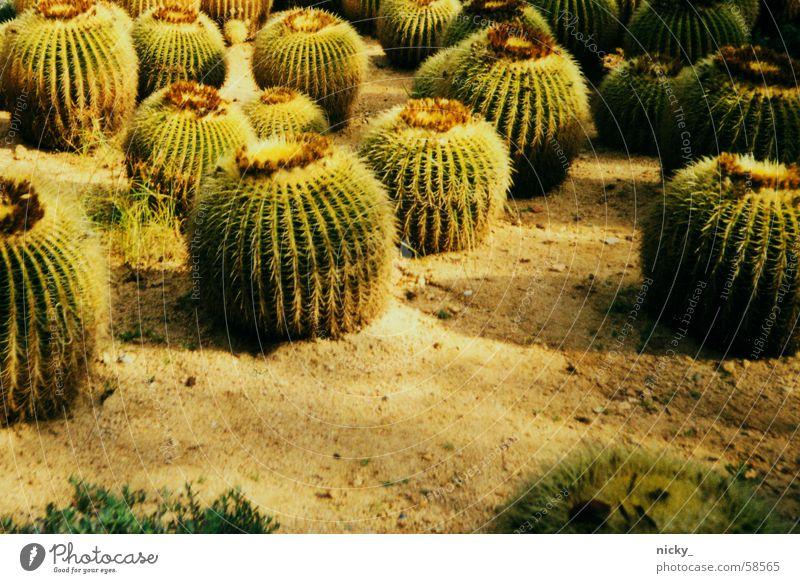 stachelparade grün Feld Schmerz Kaktus Stachel Fensterbrett Kaktusfeld