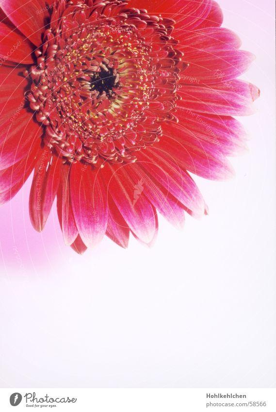 blüüümsche Pflanze Blume Gerbera rot rosa Nahaufnahme Studioaufnahme Kitsch intensiv Anschnitt Duft Geruch