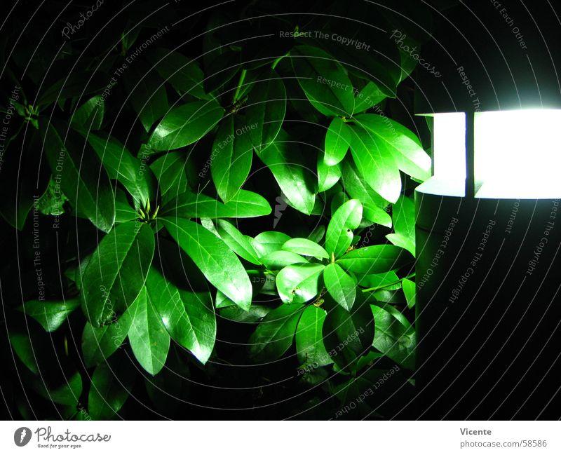 Zee Rhod Rhododendron Lampe Licht Blatt grün weiß schwarz Nacht dunkel Kunstlicht Pflanze Neonlicht Sträucher hell Beleuchtung Scheinwerfer