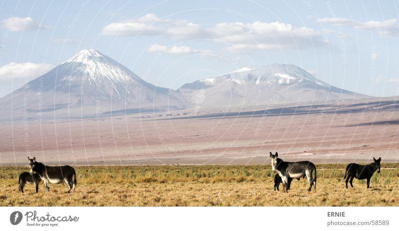 eMule illegal ? Chile San Pedro de Atacama Salar de Atacama Tier Wolken Gras Ferien & Urlaub & Reisen ladnschaft Vulkan Himmel landscape