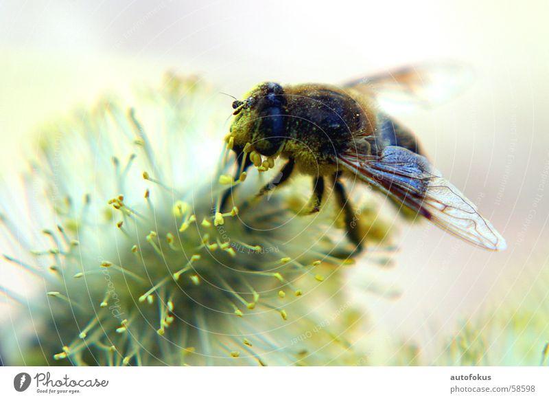 Honigbiene hautnah Biene Pollen Honigbiene