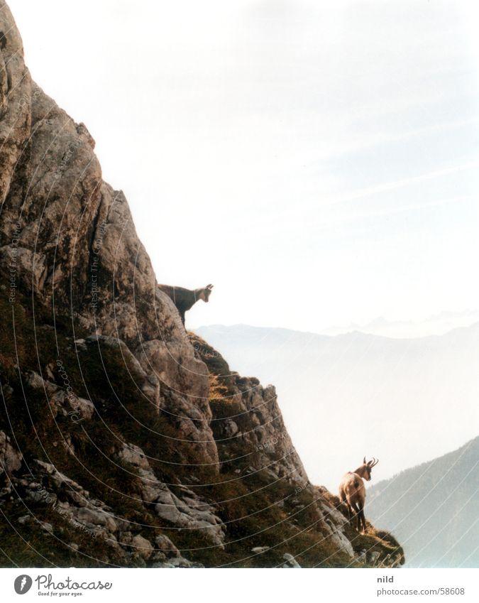 gamsn Gemse Körperbeherrschung Ferien & Urlaub & Reisen Wildnis Nebel alpin Bundesland Tirol Berge u. Gebirge Kalkalpen Felsen Klettern Geschicklichkeit Natur