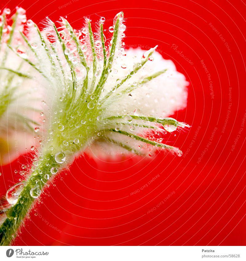 Kleines, schönes, haariges Scheißerchen Wasser weiß Blume grün Pflanze rot Sommer Frühling Regen Wassertropfen Tau Kuhschelle