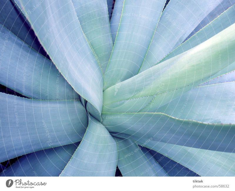 das Herz entfalten blau-grün Blatt Wachstum kalt Ferne Trockengebiet Urwald Steppe Halbwüste Dürre trocken bescheiden begnügsam Kaktus Sukkulenten Aloe