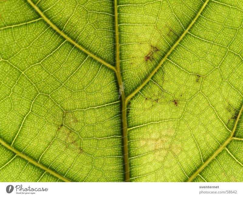 Blattadern grün Gefäße